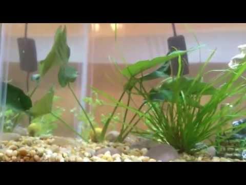 10 Gallon Community Tank - Half Moon Betta, African Dwarf Frogs, Ghost Shrimp, & Snail