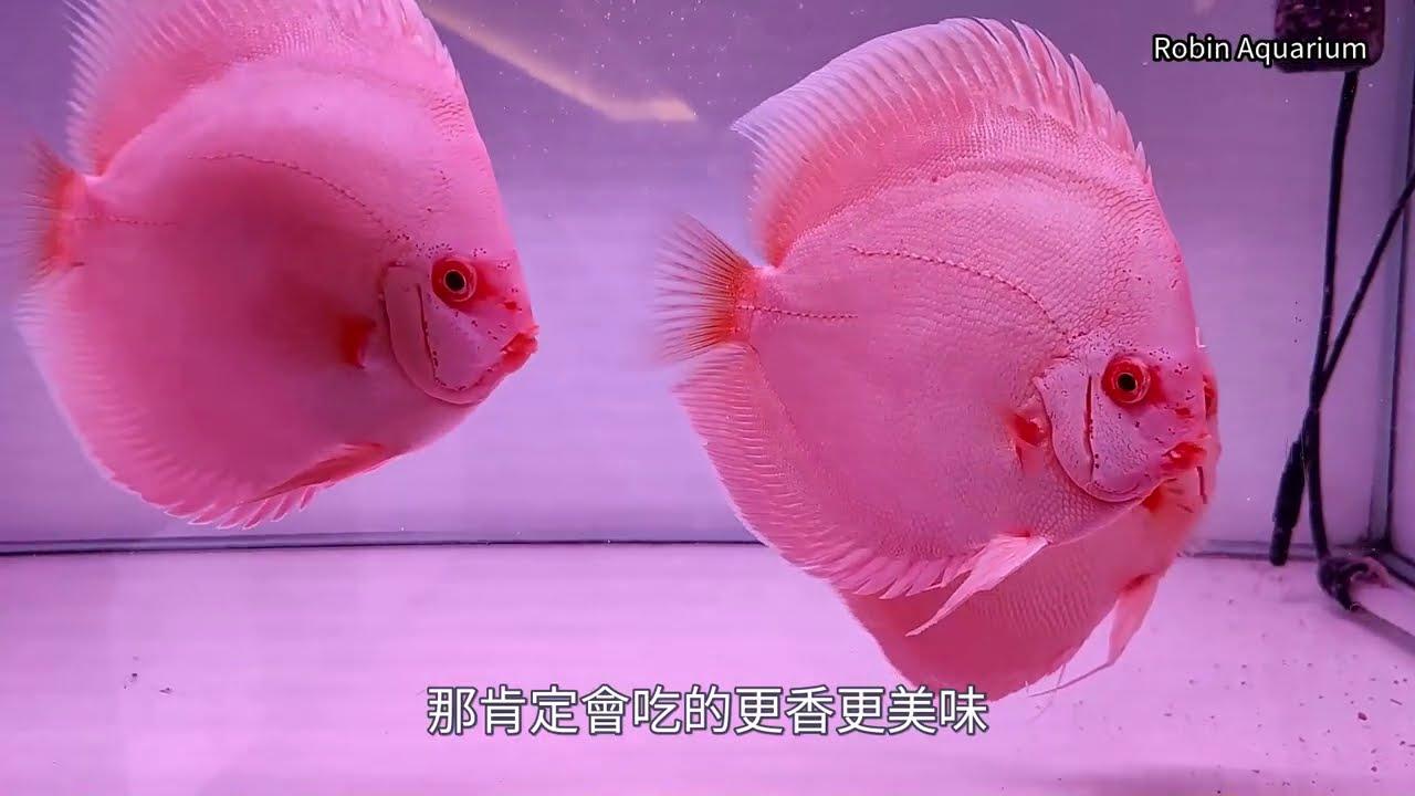 七彩神仙魚主題餐廳  吃飯看魚願望一次達成 南投草屯人本自然餐廳