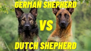 Dutch Shepherd Vs German Shepherd - The difference between the two dog breeds