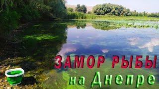 Замор рыбы на реке Днепр 31 07 2021