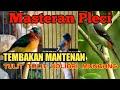 Masteran Pleci Nembak Mantenan Tulit Tulit Kolibri Muncang Wulung  Mp3 - Mp4 Download