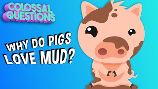 Why Do Pigs Like Mud? | COLOSSAL QUESTIONS