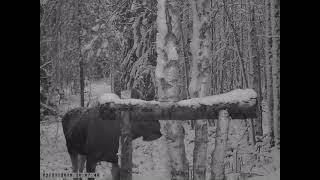 ЛОСИХА НА СОЛОНЦЕ / видео с фотоловушки
