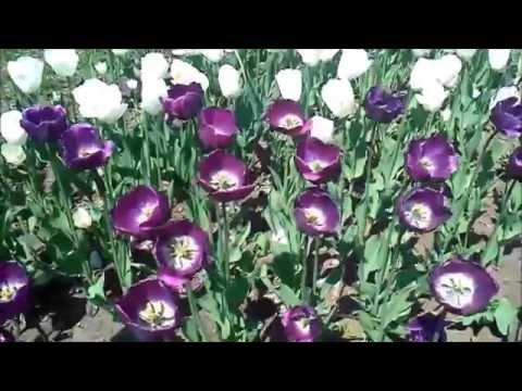 Тюльпаны фиолетовые   символ верности