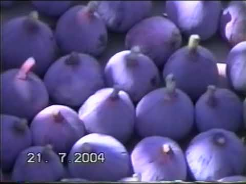 Fig Varieties of the world. By Daniel Yakir. Fig tour of an