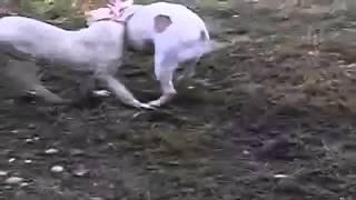 Bulldog Lovers American Bulldog Vs Dogo Argentino
