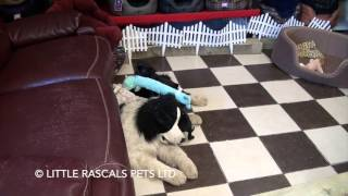 Little Rascals Uk Breeders New Litter Of Puggle Puppies - Puppies For Sale 2016