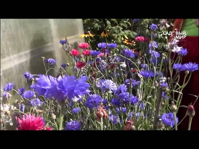 Самые неприхотливые цветы  Васильки. Сайт