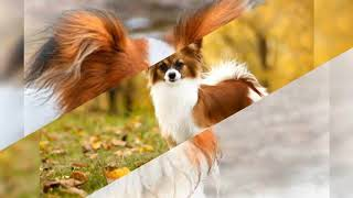 All You Need to Know About Papillon Dog  Origin, Health, Grooming & Personality.