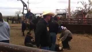 VanderMay Livestock - Lot #39 BHSS Summer Sale - JK Dunits Chickadude dragging calves at a branding.