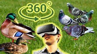 Панорамное Видео 360 VR 4K. Живность городского парка.Кормим уток голуби не дремлют.Samsung Gear360