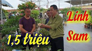 SH.4290. Ông này mua rất nhanh cây Linh Sam 1,5 triệu ở chợ Sơn Tây.