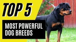 Top 5 Most Powerful Dog Breeds (German Shepherd, Rottweiler)