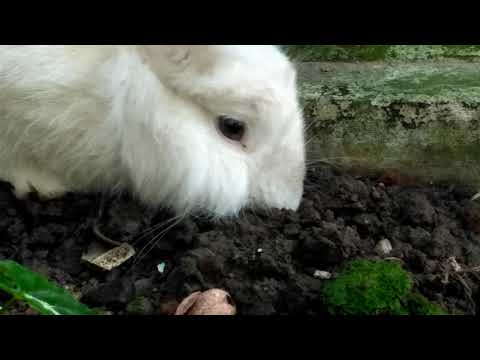 Rabbit Eating Soil For His Minerals Needs