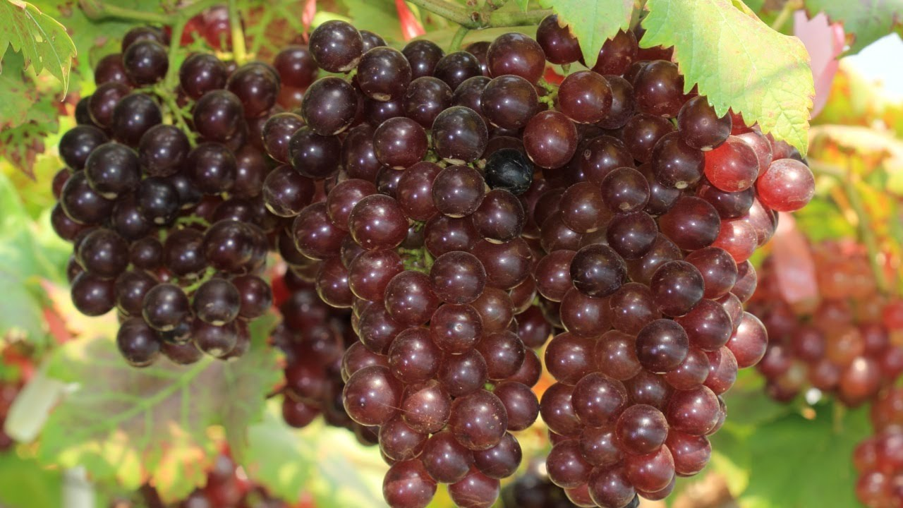 10 Things You Didn\'t Know About Grapes - YouTube