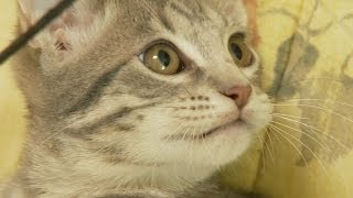 Ocicat Kittens Bouncing Around!