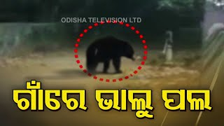Bears Stray Into Village In Keonjhar, Locals In Panic