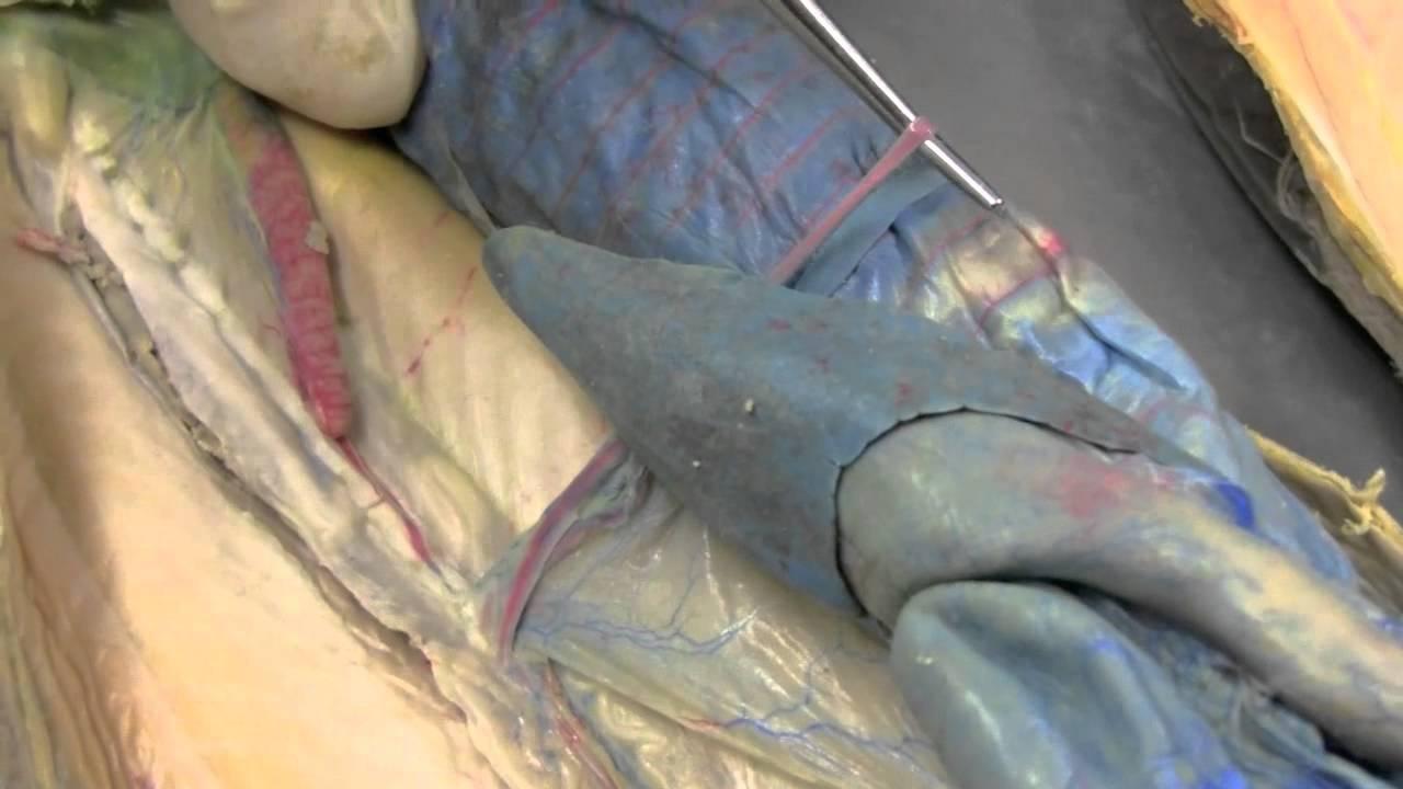 Shark Circulatory System II - YouTube