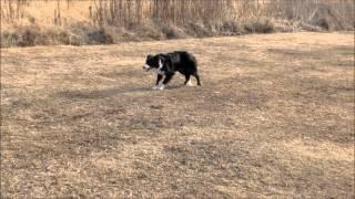 お友達の、ボーダーコリー、ポリー&ネルちゃん。 牧羊犬訓練の様子を撮...