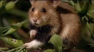 """Путешествие в мир хомяков // Отрывок из фильма """"Expedition ins Tierreich   Hamster und Hasen"""""""