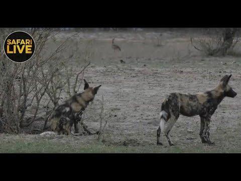 safariLIVE - Sunrise Safari - November 21, 2018