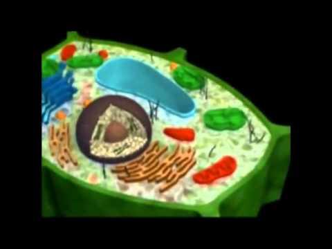 Las células eucariotas y procariotas