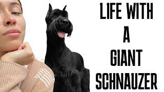 Giant Schnauzer Life (update)