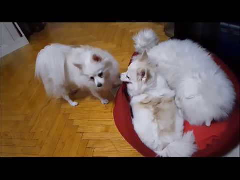 German Spitz: Toy - Cat Destroyers :)