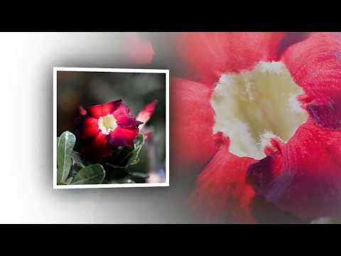 ชวนชม  Desert Rose