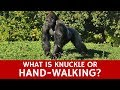 What is Knuckle-Walking? Quick Facts to