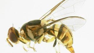 Tiny Asian pest puts squeeze on Florida fruit growers