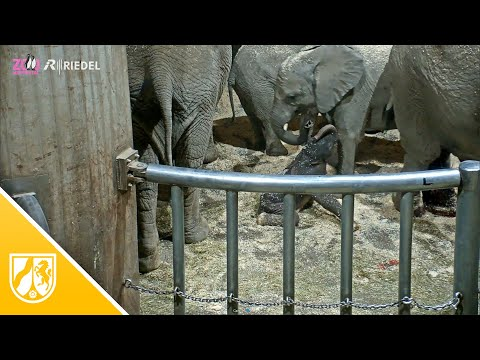 Erneute Elefantengeburt im