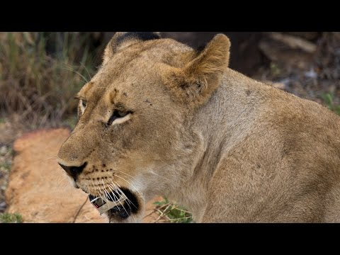 Cheeky Lions Steal GoPro