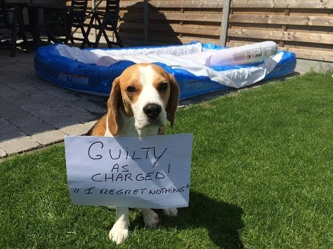 "funny-dog-shaming-video-starring-""louie-the-beagle""-episode-#2"