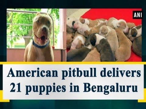 American pitbull delivers 21 puppies in Bengaluru - Karnataka News
