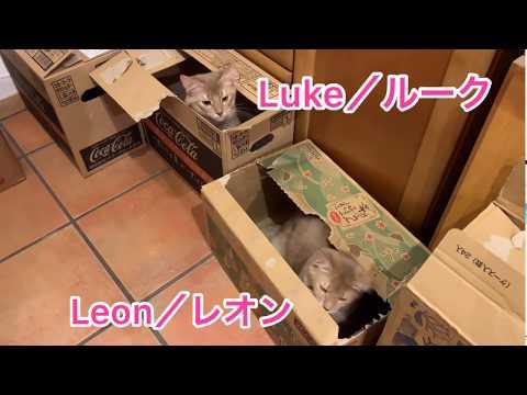 【猫・ソマリ】ルークとレオン3【Somali cat】Luke & Leon 3