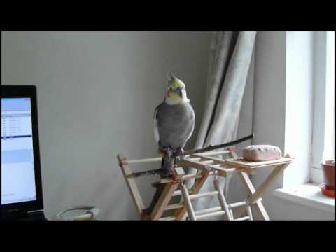 Cockatiels calling each other