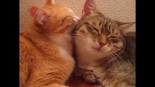 Влюбленные коты - смотреть до конца!!!