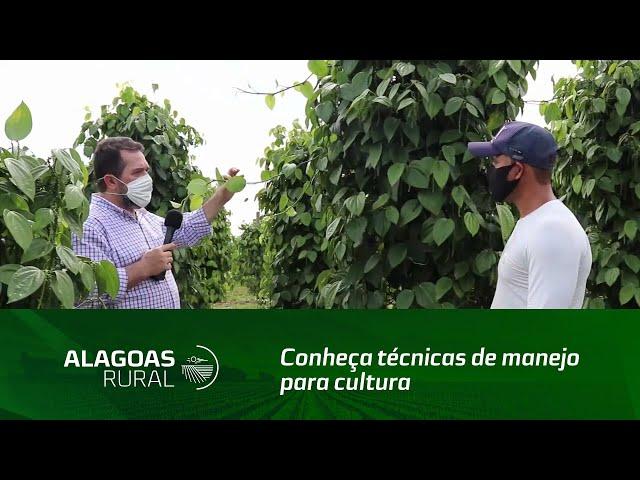 Conheça técnicas de manejo para cultura da pimenta-do-reino