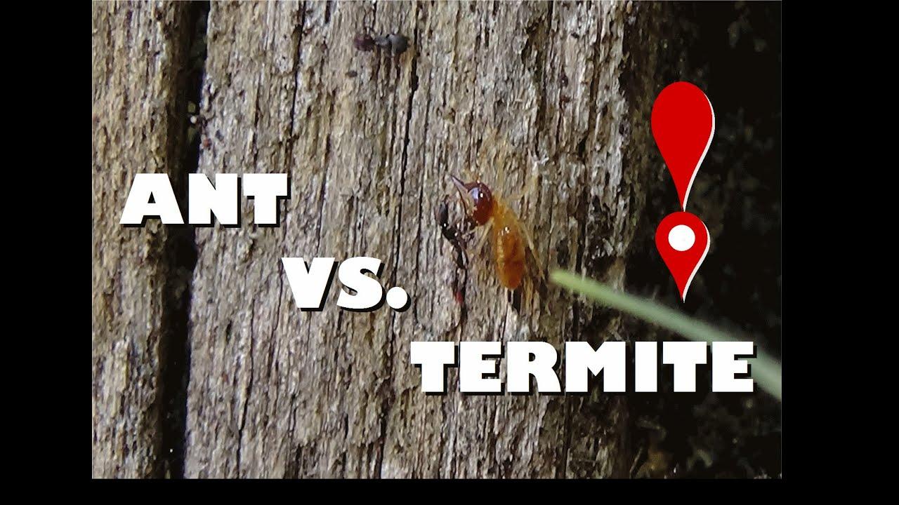 Ants vs termites do ants keep termites away youtube - Keep ants away in simple ways ...