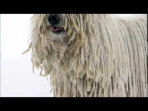 Dog Breeds - Komondor.  Dogs 101 Animal Planet
