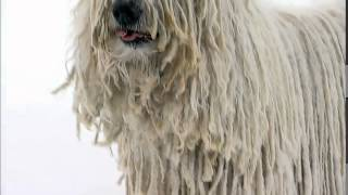Dog Breeds  Komondor.  Dogs 101 Animal Planet
