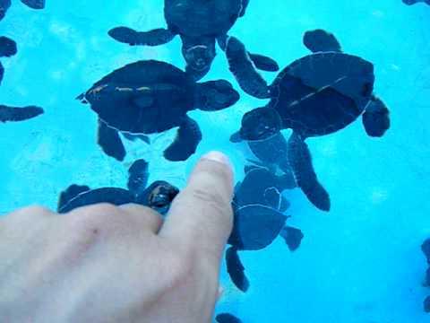 1000's of baby sea turtles!
