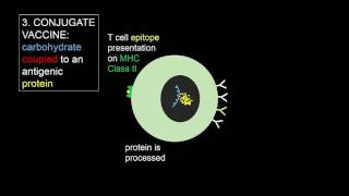 T-independent and T-dependent activation of B cells