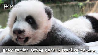 Baby Pandas Acting Cute In Front Of Camera | iPanda
