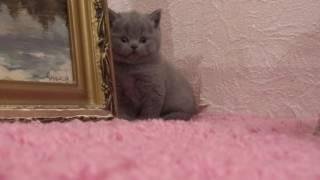 Британский короткошерстный котенок на продажу,  девочка