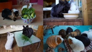 What I Feed The Rabbits & Guinea Pigs