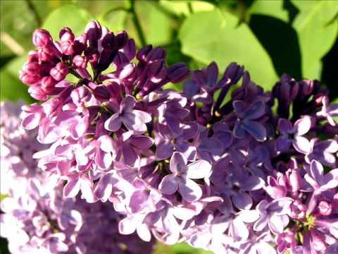 Danijay -I fiori di lillà