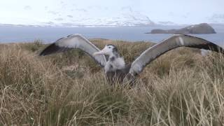 Wandering albatross (Diomedea exulans) chick stretching its wings, Prion Island, South Georgia.