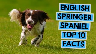 English Springer Spaniel  TOP 10 Interesting Facts